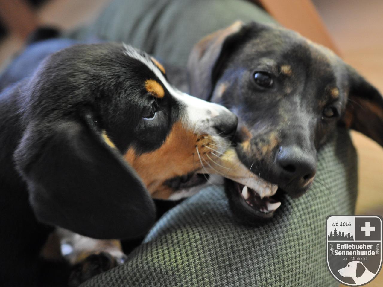 Entlebucher Sennenhunde vom Mirellental - Ida vom Thurnerkamp mit ca 10 Wochen