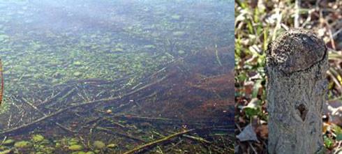 au creux de la rivière, le réfectoire du castor. Un arbre sciépar un castor : pointe caractéristique