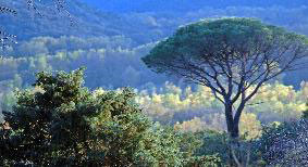 une forêt de pins parasol