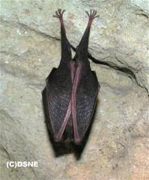 """petit rhinolophe en hibernation phot """"le web des chauves-souris"""