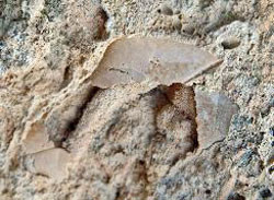 fossile feuille
