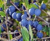 alavert dont le fruit ressemble à une petite olive