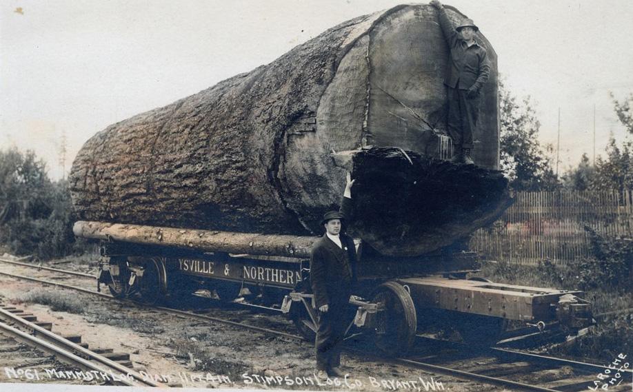 Einer der vielen großen Bäume, die die Siedler-Pioniere von ihrer Farm entfernen mussten, um 1900