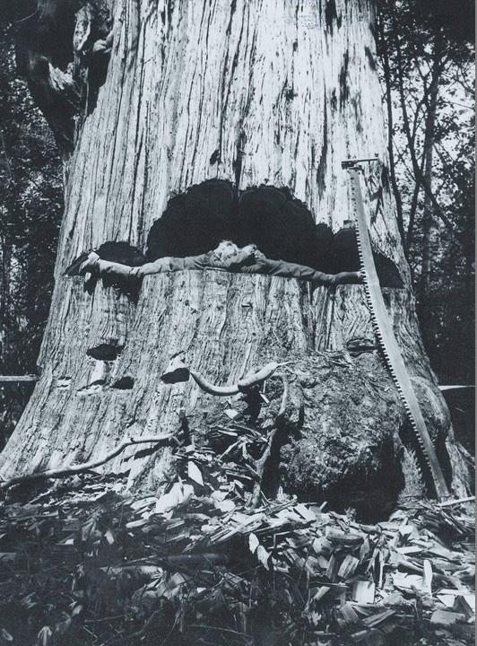 Zedern-Baum von Joseph Krätz-Farm, 1908