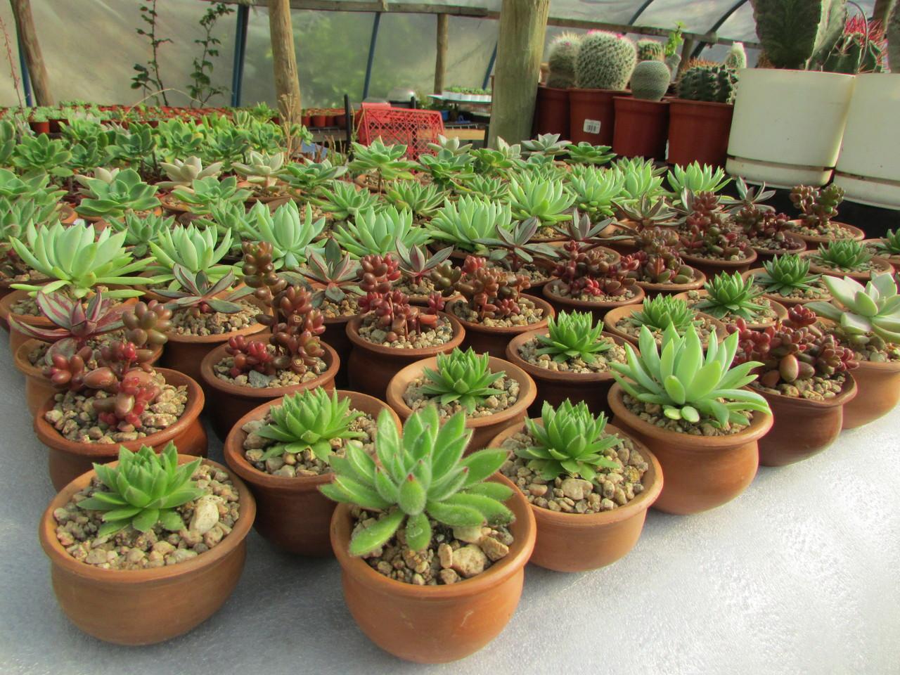 Cactus matrimonio evento vivero nacimiento cactus y for Suculentas chile