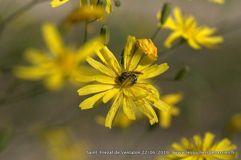 Fleur Lapsana communis-abeille sauvage-Cevennes-Lozere