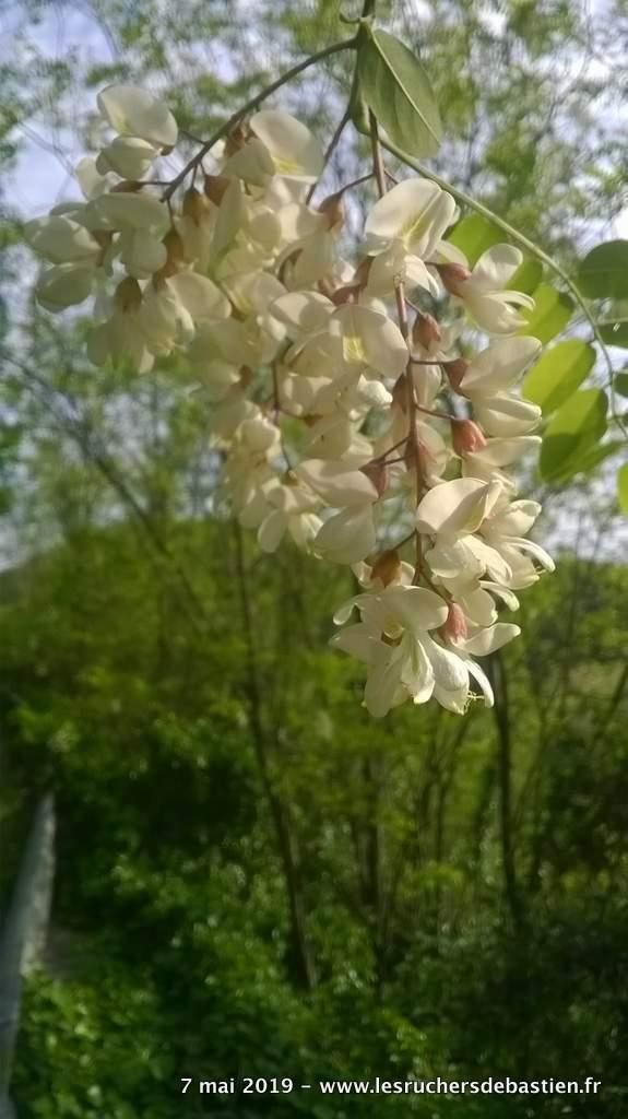 fleur du Robinier faux acacia Cévennes