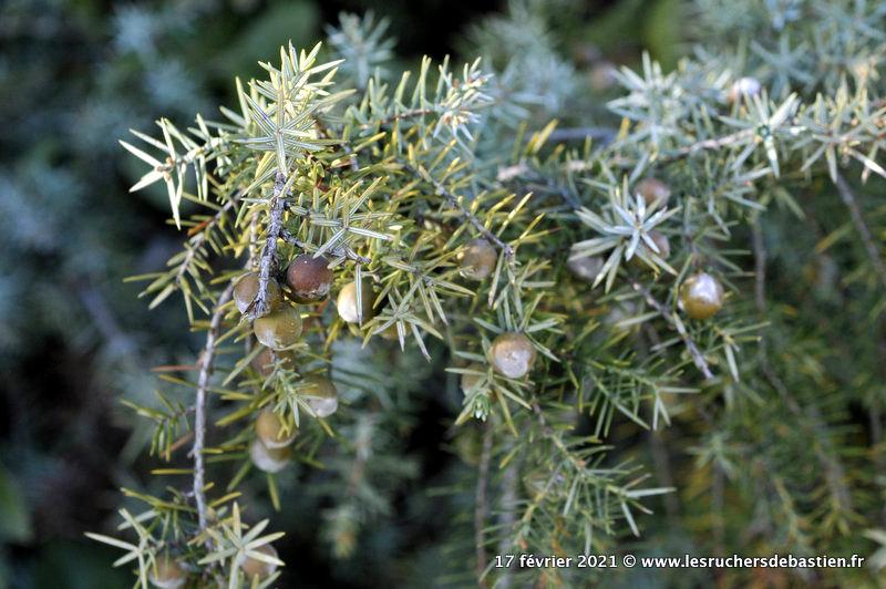 feuilles et fruits Genèvrier cade Juniperus oxycedrusdes terrains secs sud France