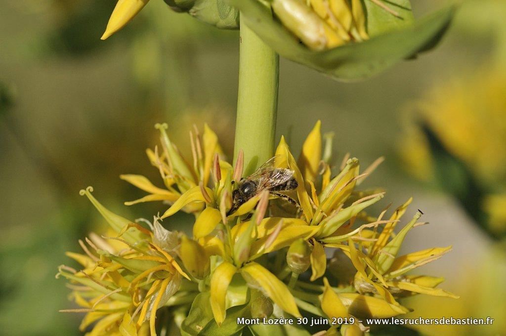 Gentiane jaune, nom latin : gentiana lutea, anglais : Yellow Gentian