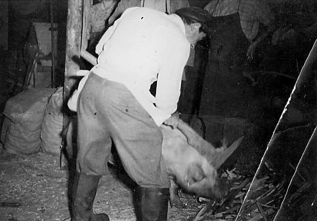 Dieser Schlachter tötet die Schweine mit einem Reuthauenähnlichen Werkzeug / hier erfolgte erst die Beteubung und dann die Tötung durch den Spitz (siehe oberes Ende des Werkzeugs)