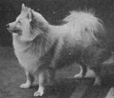 Der gelbe Spitz, der Hund auf Hinterkaifeck, war als sehr aufmerksamer Wachhund bekannt