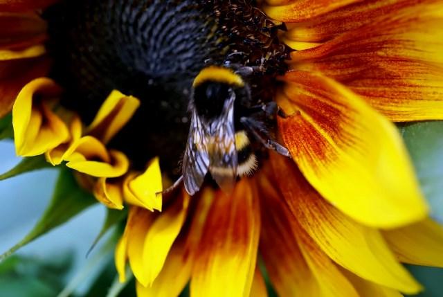 Hummel auf Sonnenblume in Nahaufnahme