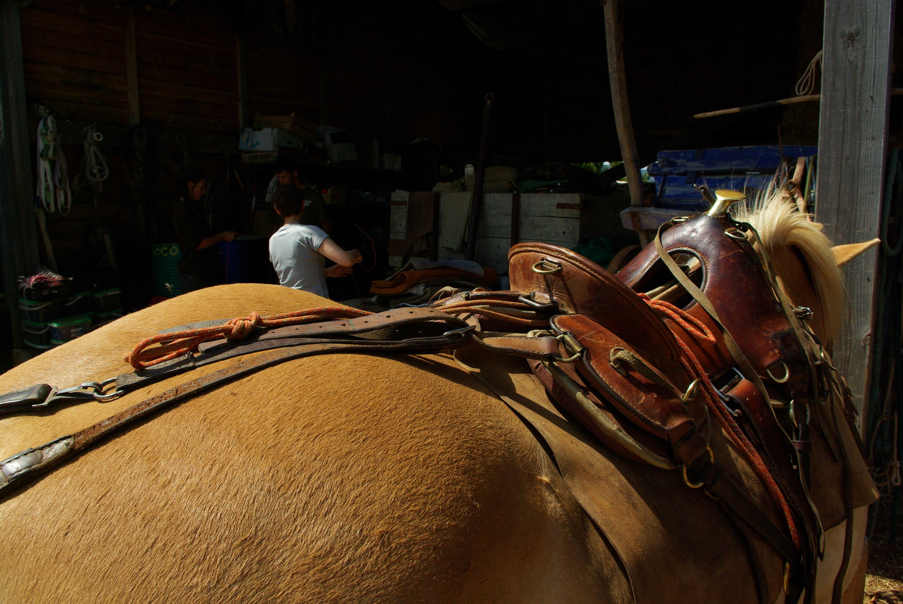 accrocher un cheval de bât à la selle de monte -Noeud de chaise + noeud de sécurité