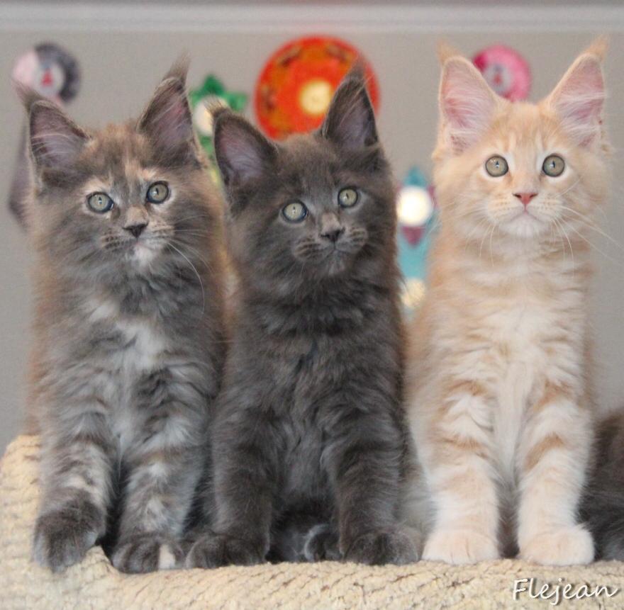 мейн-кун котята, продажа котят мейн-кун , питомник, котята