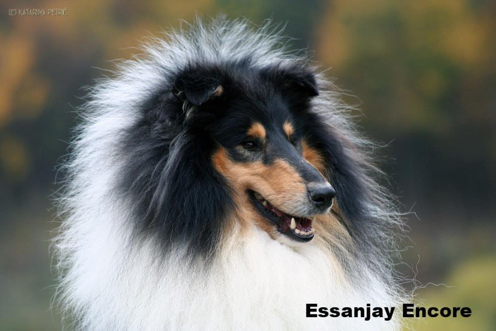 Ch. Essanjay Encore From Krystalmist (Dandy)