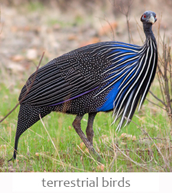 terrestrial birds of Kenya