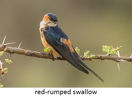 Red-rumped swallow