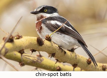 Chin-spot batis