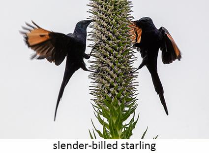 Slender-billed starling