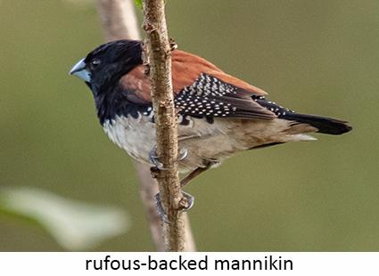 Rufous-backed Mannikin