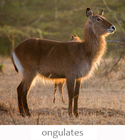 ongulates of Kenya