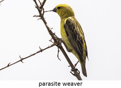 Parasitic weaver