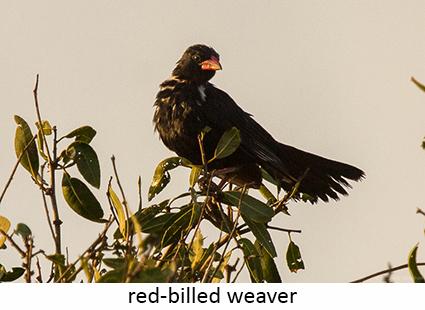 Red-billed weaver