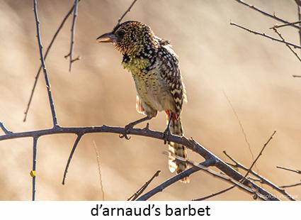 D'arnaud's barbet