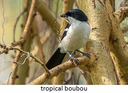 Tropical boubou