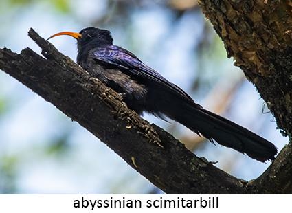 Abyssinian Scimitarbill