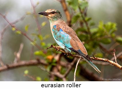 european roller