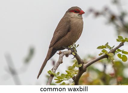 Waxbill, common