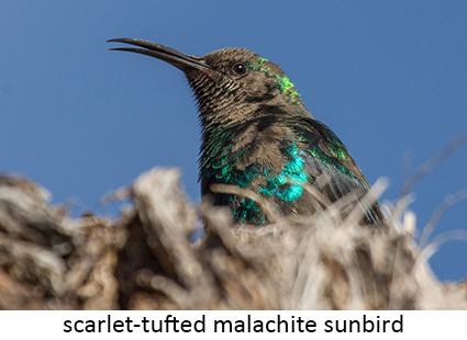 Scarlet-tufted malachite sunbird