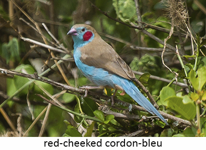 Red-cheeked cordon-bleu