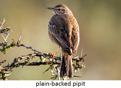 Plain-backed pipit
