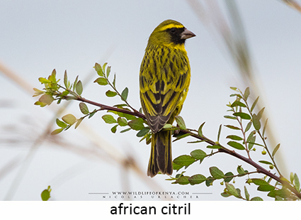 African Citril