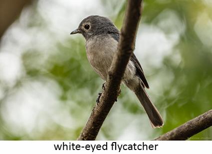 White-eyed Flycatcher