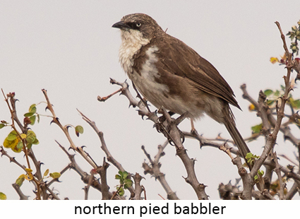 Northern Pied Babbler