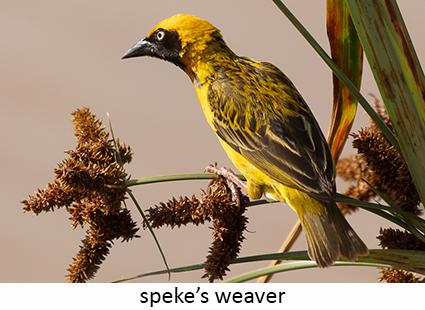 Speke's weaver