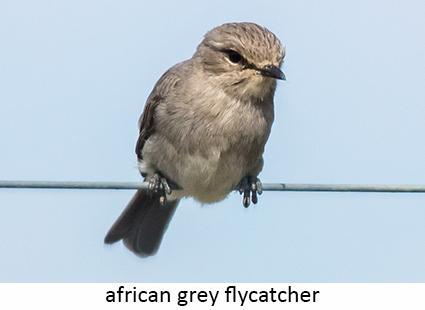 African Grey Flycatcher