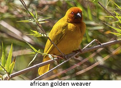 African golden weaver