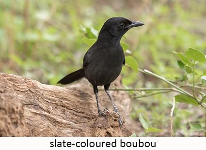 Slate-coloured Boubou