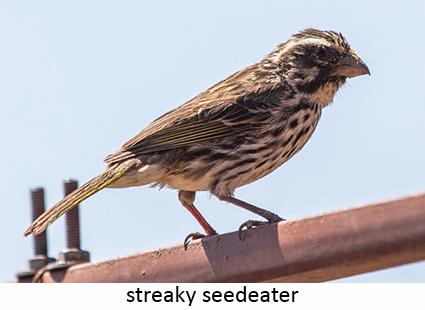 Streaky seedeater