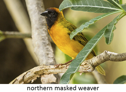 Northern masked weather