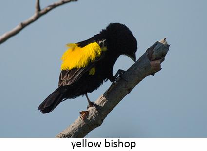 Yellow Bishop