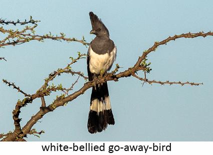 White-bellied Go-away-Bird