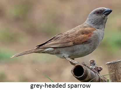 Gre-headed Sparrow