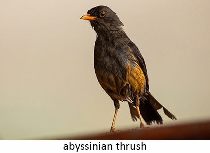 Abyssinian thrush