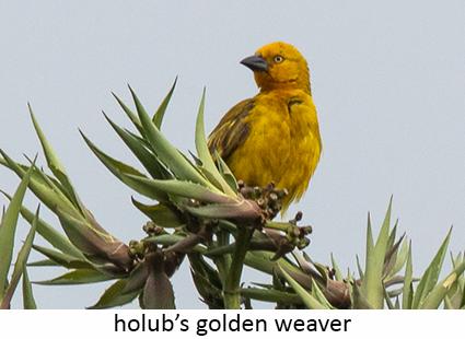 Holub's golden weaver