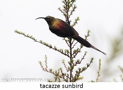 Tacazze sunbird